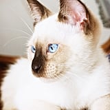 Known for having vivid blue eyes and a creamy coat, Siamese cats have darker marks around the body, which are known as points. Seal point Siamese cats have very dark brown marks, chocolate points have lighter markings, blue points have grayish marks, and lilac points have almost frosty white points. But Siamese cats can also have red- to caramel-colored markings. Source: Flickr user baking_in_pearls