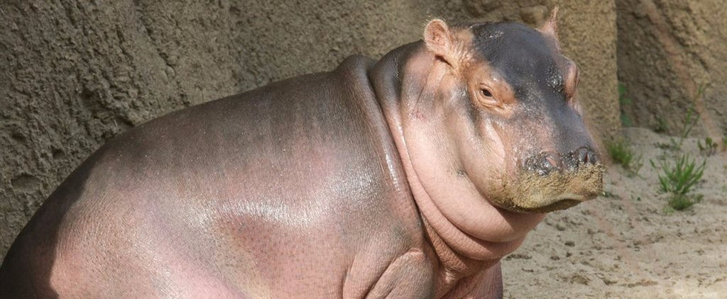 People Can't Help but Celebrate Fiona the Hippo For the Greatest Reason