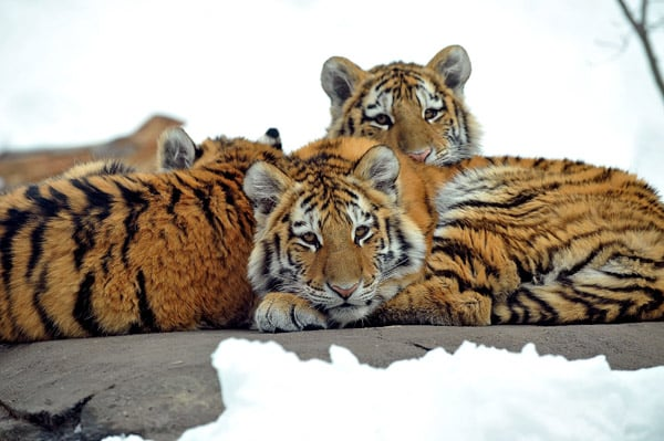 Tigers Snuggle Up in the Snow at Bronx Zoo