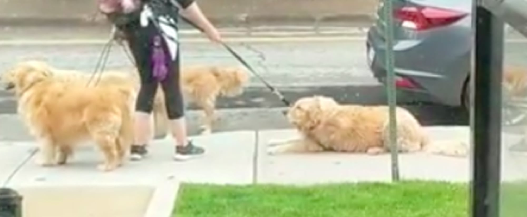 Funny Videos of Golden Retrievers