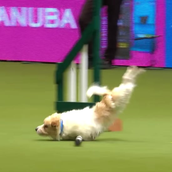 Olly the Jack Russell Terrier Agility at Crufts Video