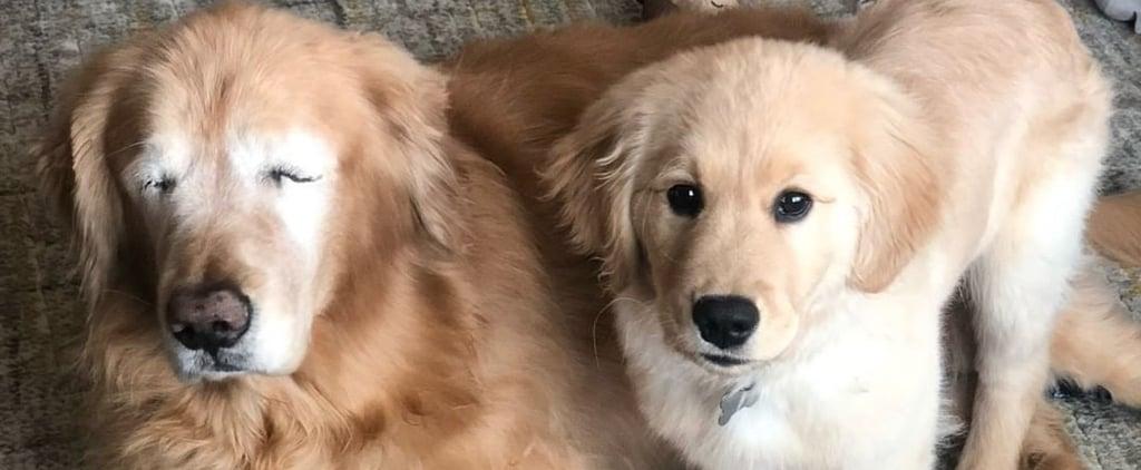 Blind Golden Retriever Gets Seeing Eye Dog