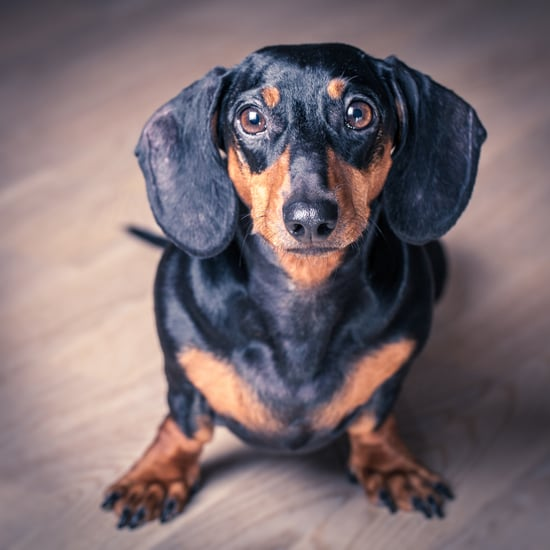All About Dachshunds