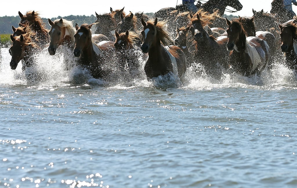 Pony Power! The Wild Horses of Assateague Island