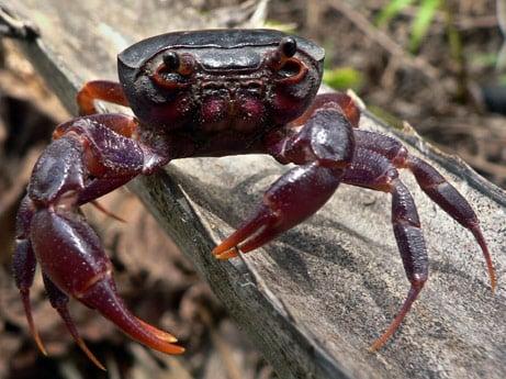 The Purple Marsh Crab