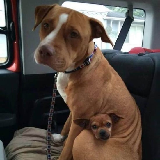 Pit Bull and Chihuahua Adopted Together