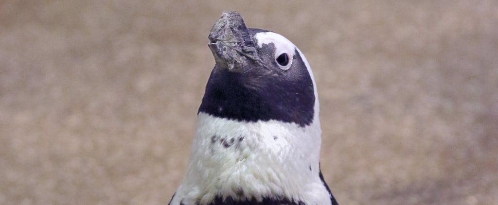 Watch Penguins Explore Shedd Aquarium in Chicago