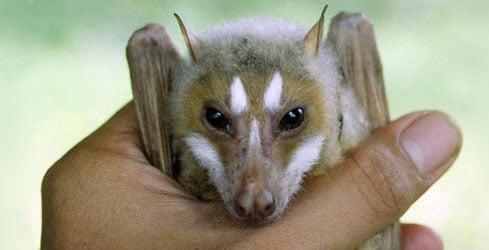 Mindoro Stripe-Faced Fruit Bat