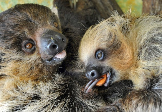 In the wild, sloths live mainly in tropical rainforests of Central and South America.