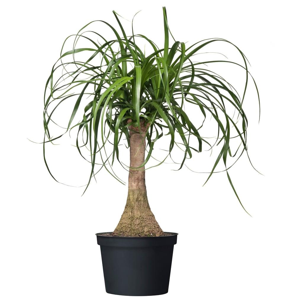 Beaucarnea Recurvata Potted Plant