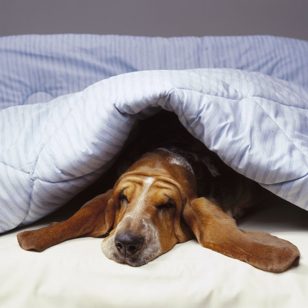 Cute Pictures of Basset Hounds