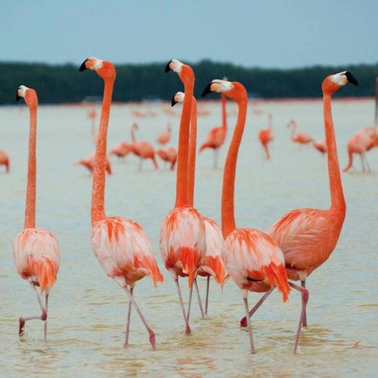 Flamingos in Celestún, Mexico