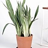 Sansevieria Sayuri Cane Indoor Plant