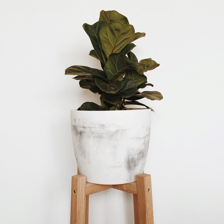 Bambino Fiddle Leaf Fig, $55
