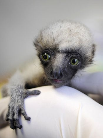 Meet Tahina, the Baby Madagascar Lemur