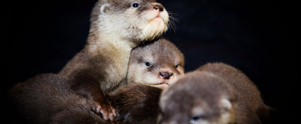 Baby Otters Took Their First Swim at Dubai Aquarium Today and OMG