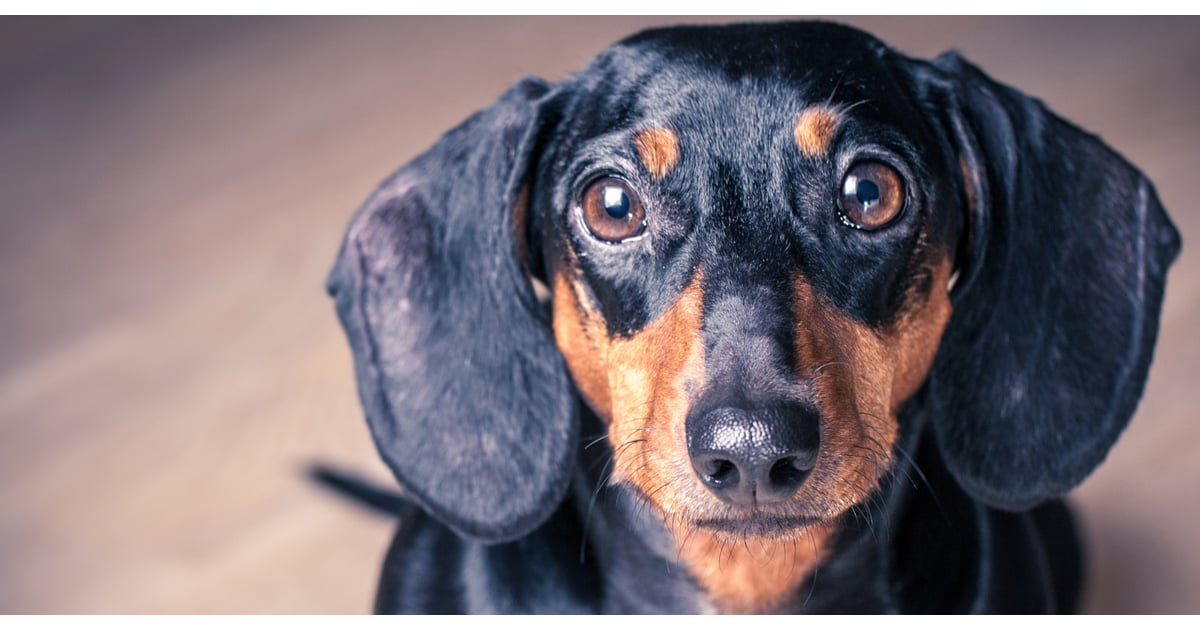 What Does Sd Mean >> All About Dachshunds | POPSUGAR Pets