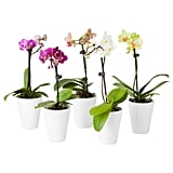 Phalaenopsis Plant With Pot