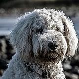 Capricorn (Dec. 23-Jan. 20) — Poodle