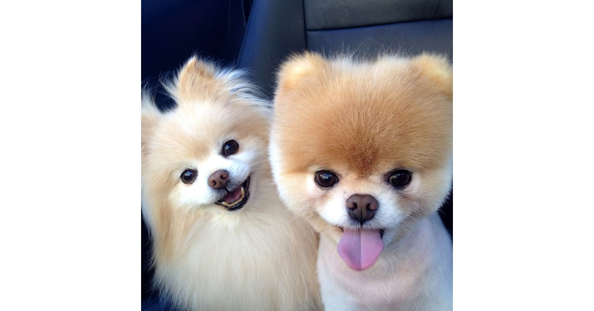 Cute pomeranian pictures popsugar pets thecheapjerseys Image collections
