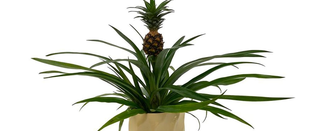 Home Depot Will Deliver Pineapple Plants to Your House