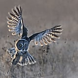 Great Grey Owl Taking Off