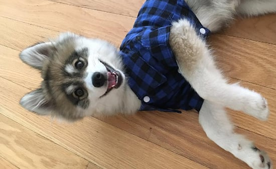 Meet Norman the Pomsky! He's a Rising Star on Facebook and Instagram
