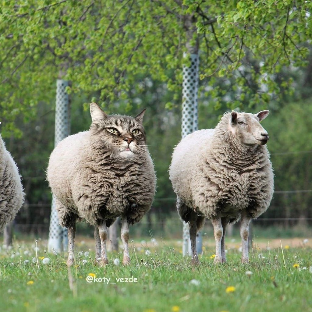 Sheep With a Cat's Face