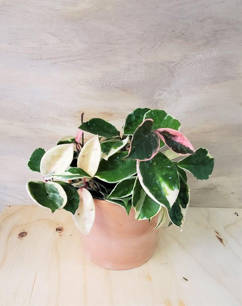 Rare Hoya Tricolor