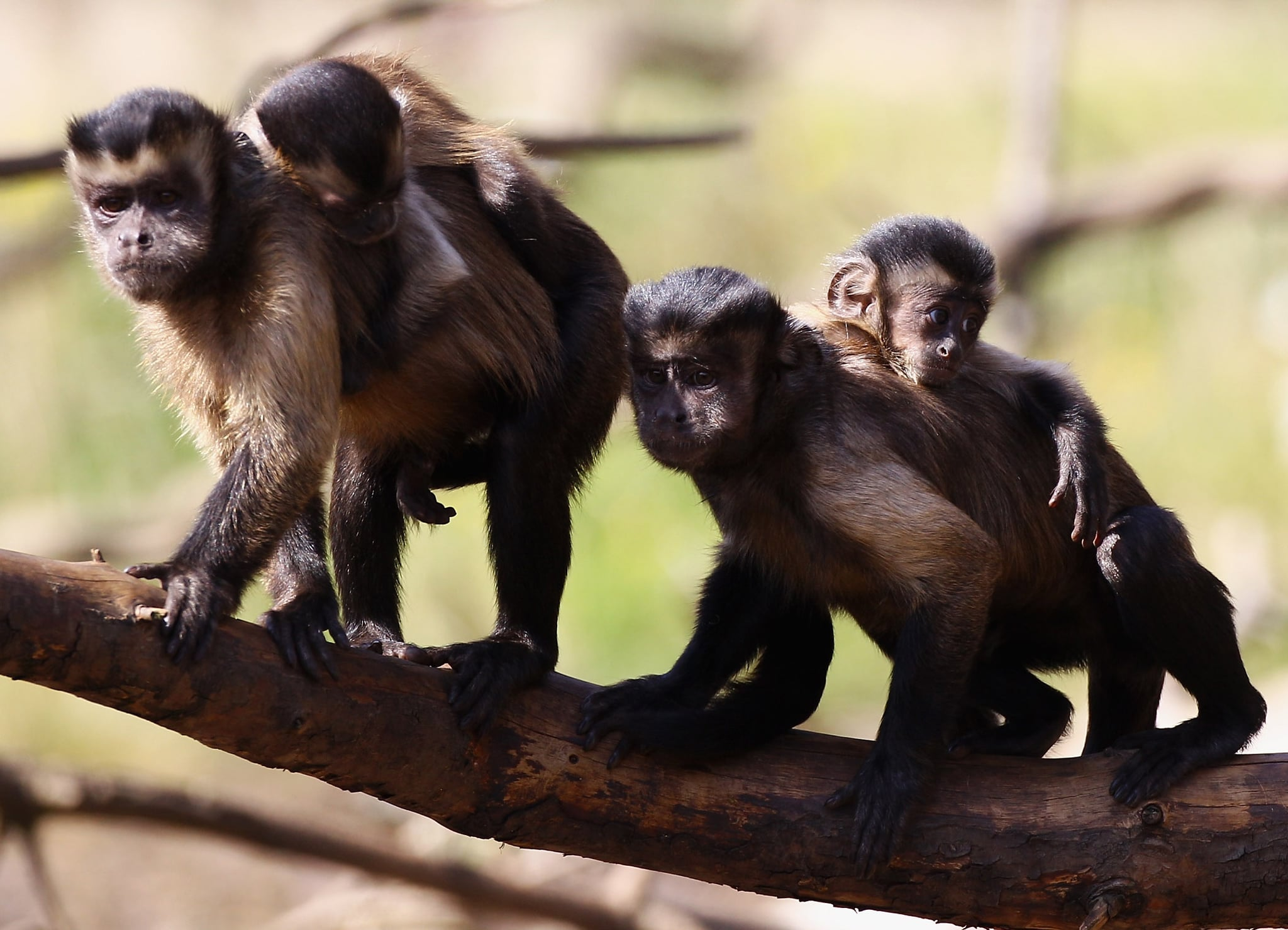 Pictures Of Baby Capuchin Monkeys Popsugar Pets