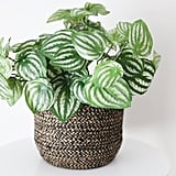 Peperomia Green Plant