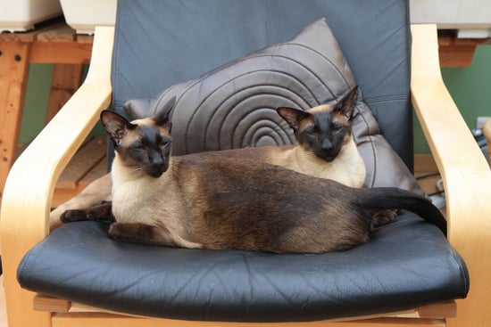 Along-different-coat-colors-Siamese-cats-have-varying-body