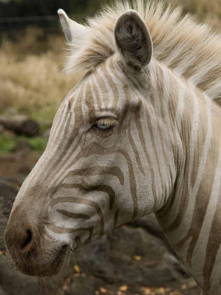 Zoe the Golden Zebra