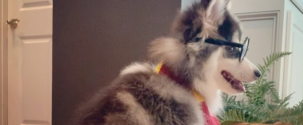 Dog Dressed as Harry Potter Riding a Roomba Vacuum   Video