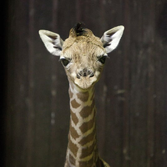 Photos of Newborn Baby Giraffe at Zoo Aquarium of Madrid