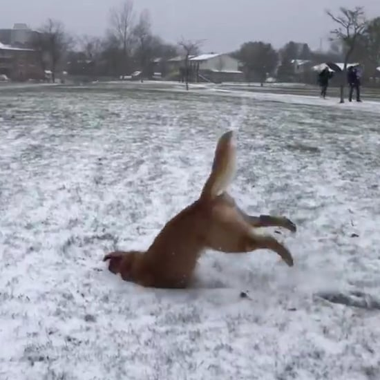 Video of Golden Retriever Doing a Front Flip in the Snow