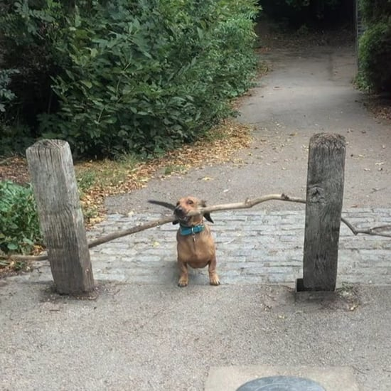 Video of Bosco the Dachshund Carrying a Large Stick