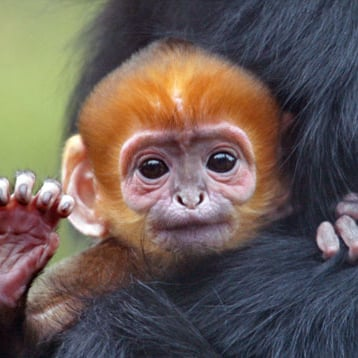 San Francisco Giants Rally Monkey Born at SF Zoo