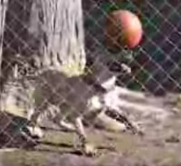 Dog Balances Ball on Nose