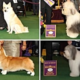 Best of Breed: Herding Division