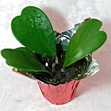 Hoya Kerrii Sweetheart Plant