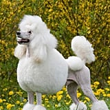 """Try Using the Word """"Poodle"""" in a Professional Sentence"""