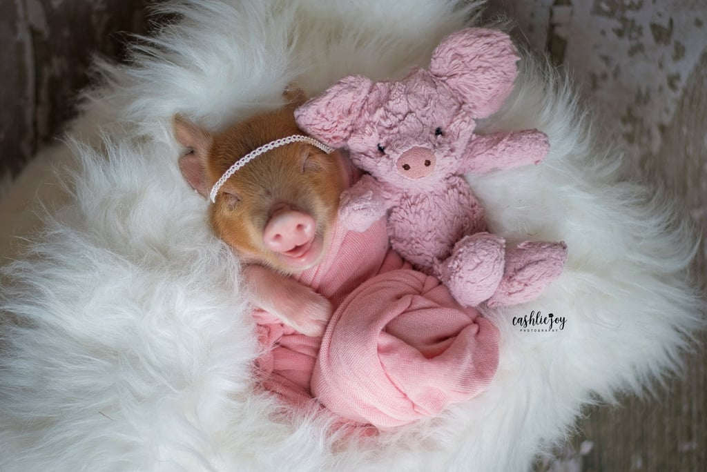 Photos of Dynamite the Baby Piglet