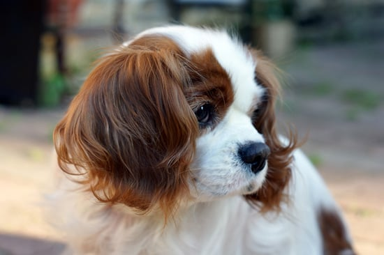 Cavalier king charles spaniel pictures popsugar pets cavalier king charles spaniel pictures altavistaventures Image collections