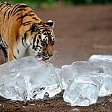Tiger Licking Ice to Cool Down
