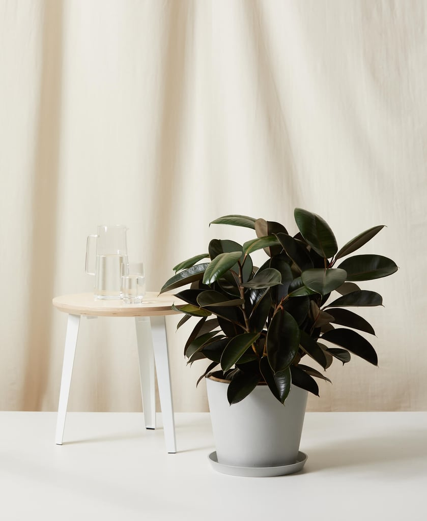 Bloomscape Burgundy Rubber Tree