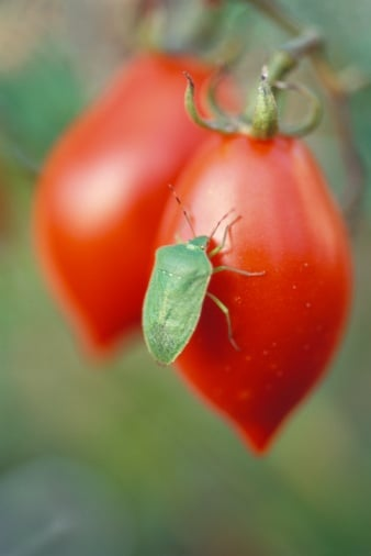 Are You Willing to Accept the Occasional Bug in Produce?