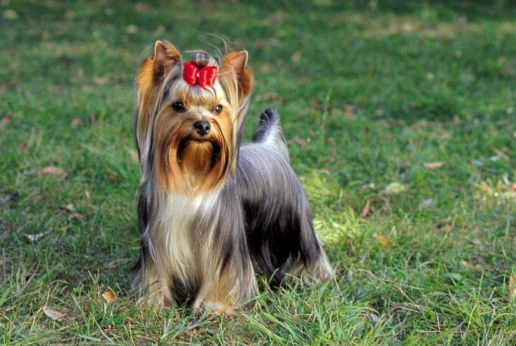 New Jersey's Dog: Yorkshire Terrier