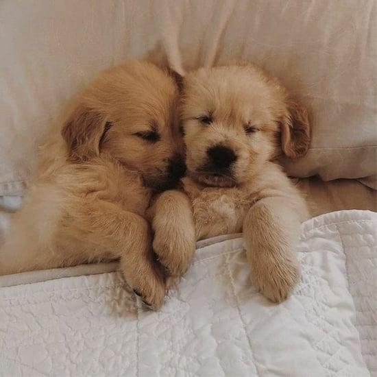 See These Adorable Photos of Golden Retriever Puppies