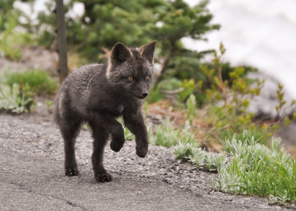 Summer Arctic Fox